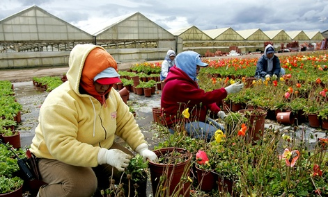 Migrant workers tend to flowers at a nursery in Salinas, Calif.