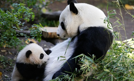 Xiao Liwu, a 5 1/2-month-old male panda, below, nurses as his mother, Bai Yun, above, looks on at the San Diego Zoo.