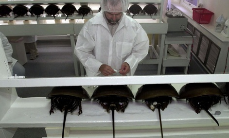 Technician Tom Bentz prepares a group of horseshoe crabs for bleeding at the BioWhittaker lab in Chincoteague Island, Va.