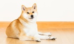 Doge images usually utilize an image of a Shiba Inu.