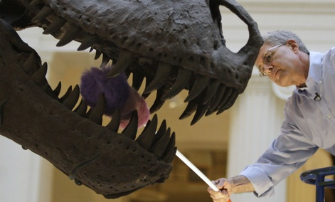 Bill Simpson, collections manager of fossil vertebrates at Chicago's Field Museum, dusts the teeth of the Tyrannosaurus rex skeleton known as Sue.