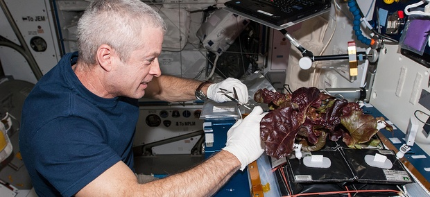 NASA astronaut Steve Swanson, Expedition 40 commander, harvests a crop of red romaine lettuce plants from the Veg-01 experiment.