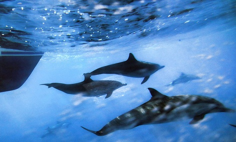 This Oct. 15, 2014 photo shows dolphins swimming along the side of a boat off the coast of San Pedro, Calif.