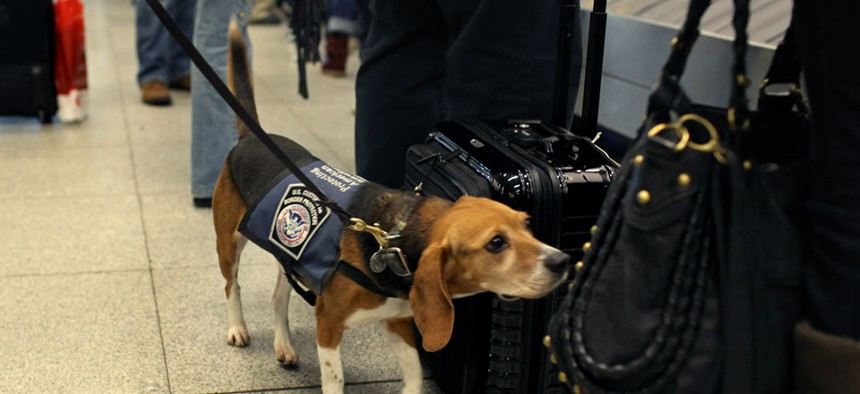 Working for the US Customs and Border Protection, Izzy is an agricultural detector beagle whose nose is highly sensitive to food odors. Izzy sniffs incoming baggage and passengers at John F. Kennedy Airport in New York.