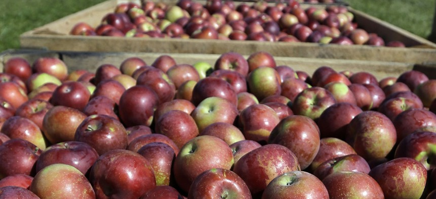 Bins of apples wait to be transported to a barn after being harvested at Goold Orchards on Thursday, Sept. 26, 2013, in Castleton, N.Y.