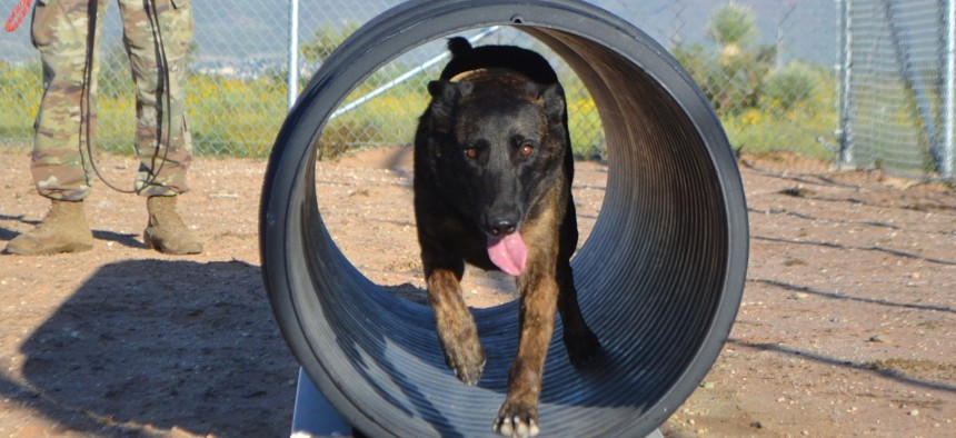 A Dutch Shepherd military working dog  runs through an obstacle at the 513th Military Police Detachment's K-9 kennel at Fort Bliss Aug. 25, 2017.