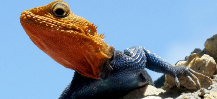 Robotics researchers aim to imitate creatures that can run on sand, like this male Red Headed Agama.