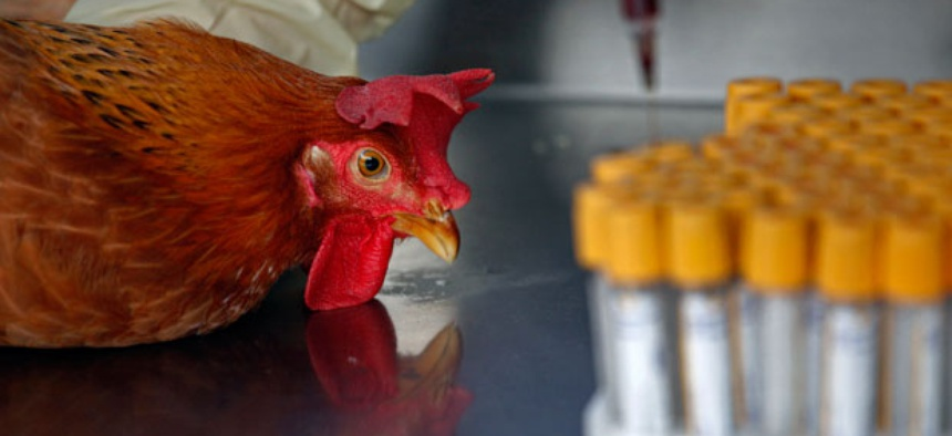 Health workers take a blood sample from a chicken in Hong Kong Thursday, April 11, 2013.