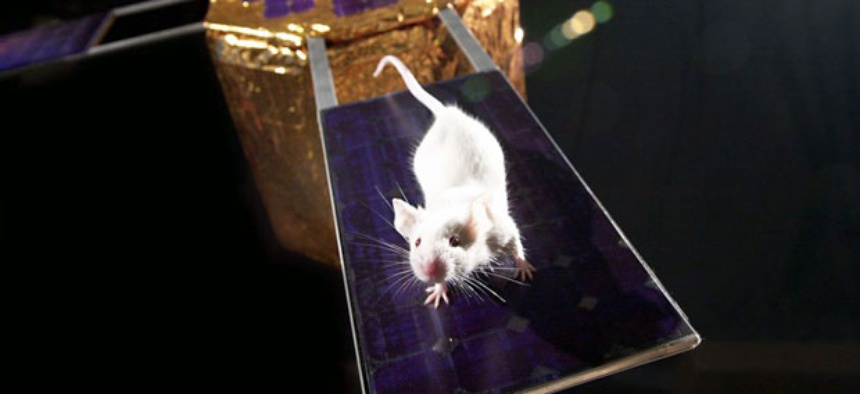 NASA has put mice into space before. In 2006 a a group of mice-astronauts orbited Earth inside a spinning spacecraft to learn what its like to live on Mars.