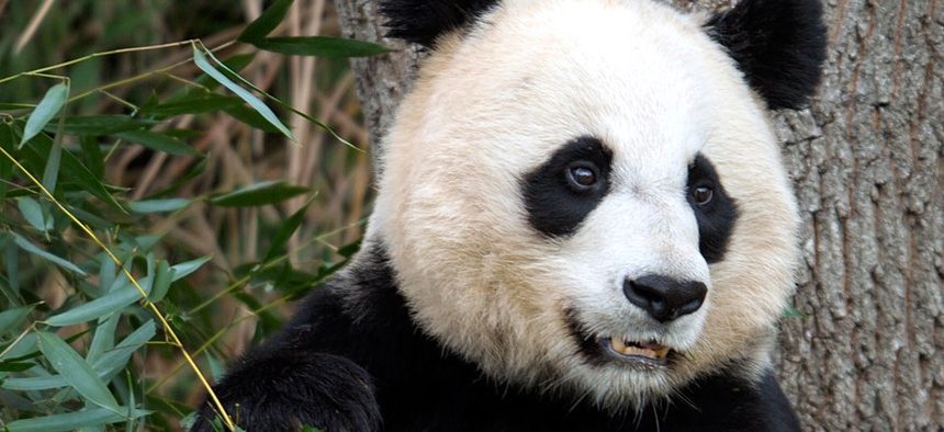 Mei Xiang, the female giant panda at the Smithsonian's National Zoo and one of the stars of PandaCam.