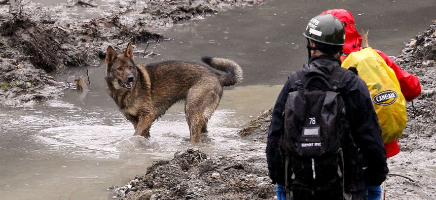 A search dog stands in a water and looks back at handlers at the scene of a deadly mudslide in Oso, Wash.