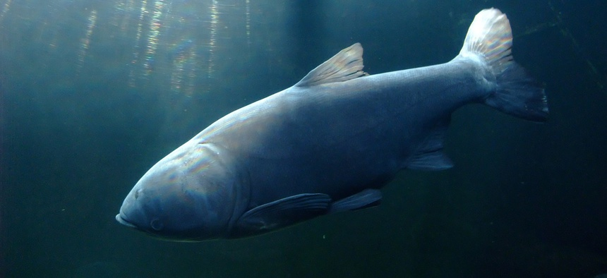 The bighead carp is among the invasive species the government is fighting.