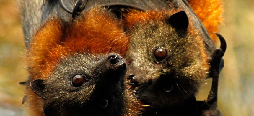 Fruit bats like these are involved in the spread of the Ebola virus.