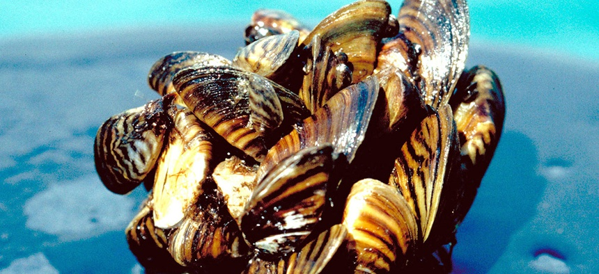 A group of zebra mussels